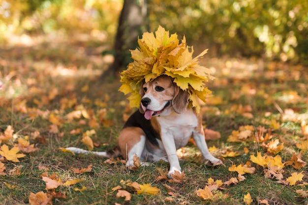 カエデを着て舌を突き出てかわいいビーグル犬の葉の帽子 無料写真