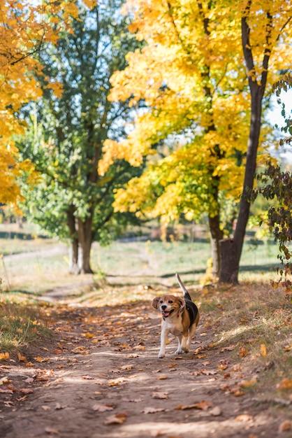 森林歩道で走っているビーグル犬の正面図 無料写真