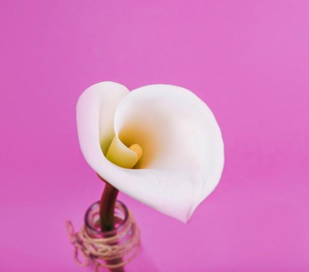 ピンクの背景の美しい白いオランダカイウユリの高架ビュー 無料写真