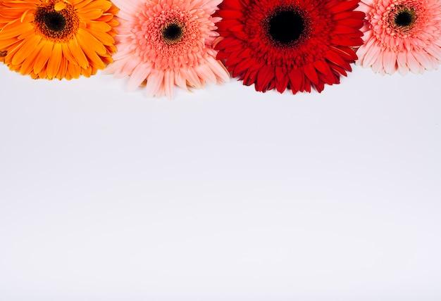 Яркие цветы герберы на белом фоне Бесплатные Фотографии