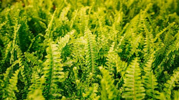 緑のシダのパノラマビューの葉の背景 無料写真