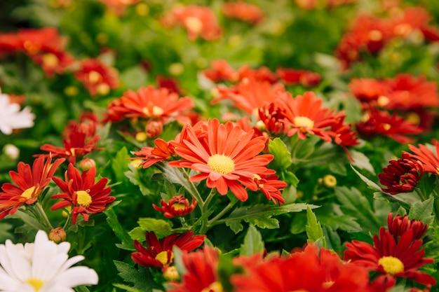 背景の赤い菊の花 無料写真