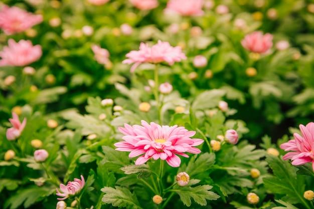 庭の美しいピンクの菊の花 無料写真