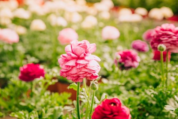 庭の単一の花の新鮮なピンクのマリーゴールド 無料写真