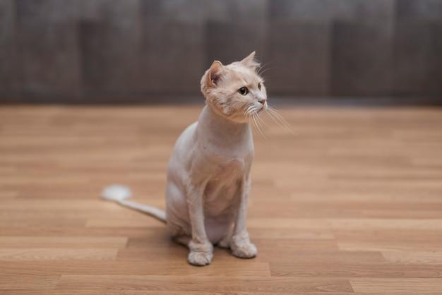 床に座ってかわいいベージュ猫 無料写真