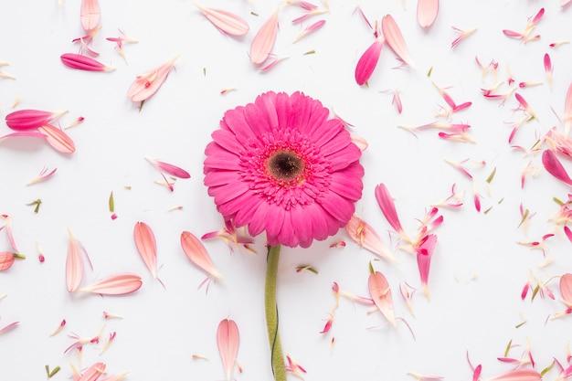 白いテーブルの上の花びらとピンクのガーベラの花 無料写真