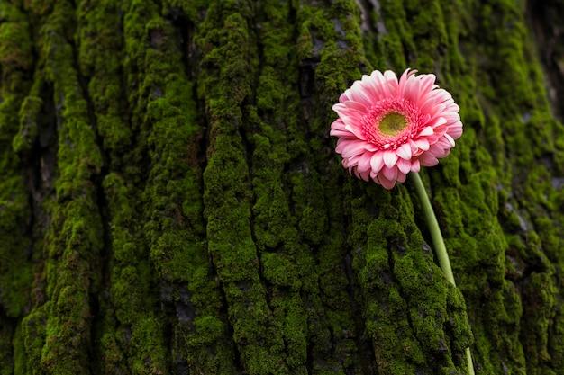 木の樹皮にピンクのガーベラの花 無料写真