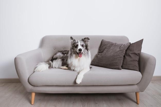 Красивая бордер-колли на диване Бесплатные Фотографии