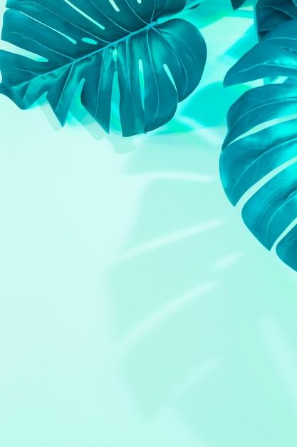 ミントグリーンの背景にモンスターの葉 無料写真