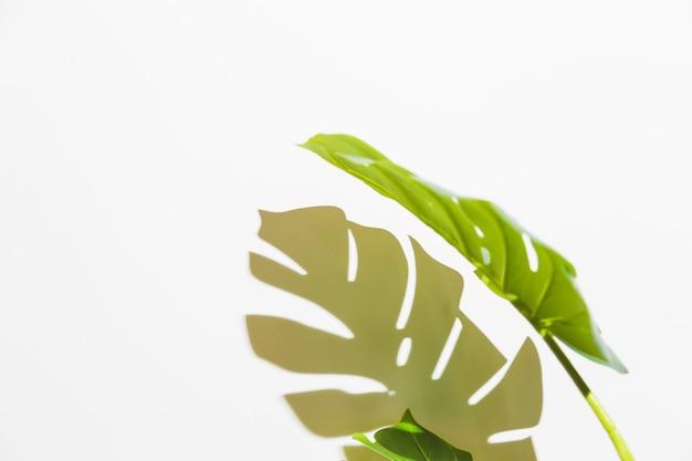 白い背景の上の影と緑のモンステラの葉のクローズアップ 無料写真