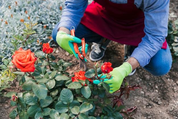 植物からバラを切る女性庭師の俯瞰 無料写真