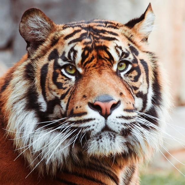 虎 無料写真