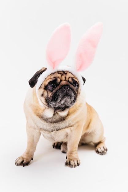 ピンクのバニーの耳で面白いかわいい厳しいパグ 無料写真