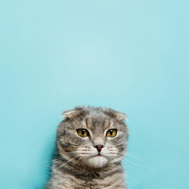 スコティッシュフォールド猫の肖像画 無料写真