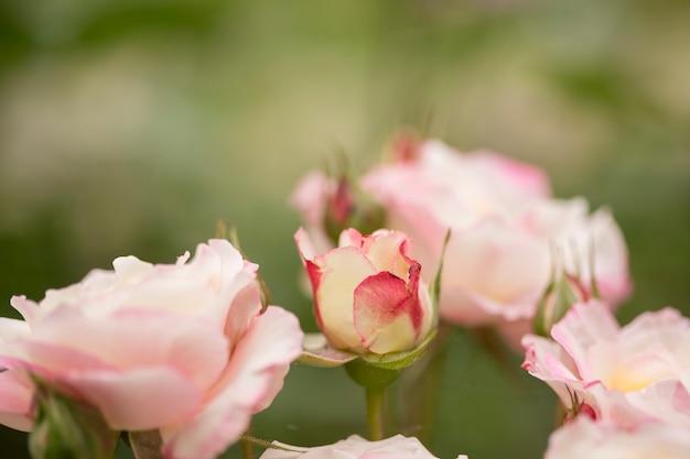 美しいバラの花のクローズアップ 無料写真