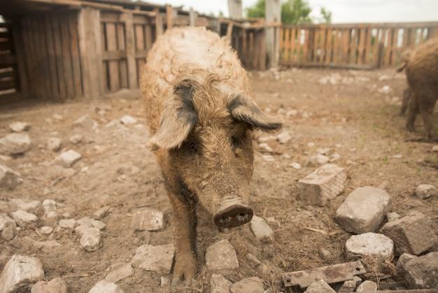 農場の豚肉 無料写真