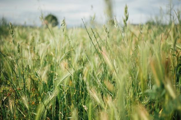 牧草地にクローズアップの背の高い草 無料写真