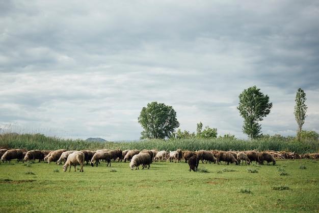 牧草地で草を食べる羊のロングショットの群れ 無料写真