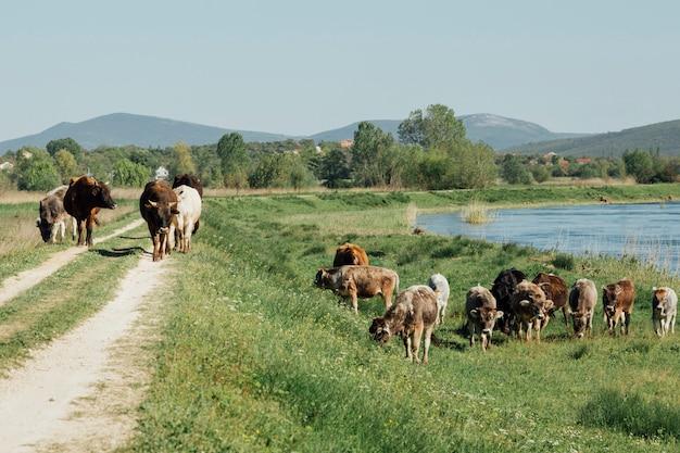 湖のそばで草を食べるロングショット牛 無料写真