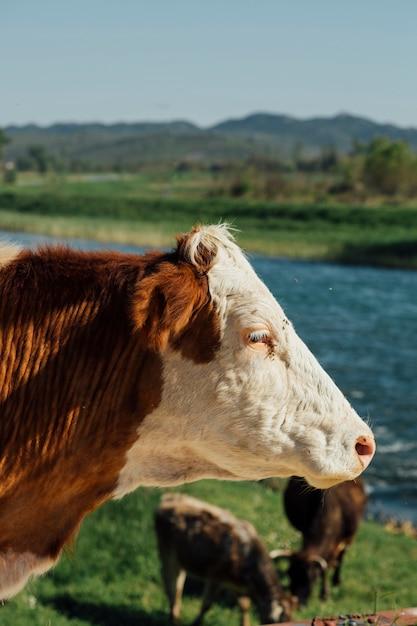 湖のそばのクローズアップ牛 無料写真