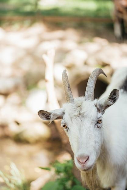 厩舎でクローズアップ農場のヤギ 無料写真