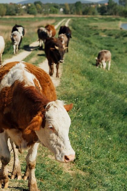 Длинный выстрел коров, идущих по грунтовой дороге Бесплатные Фотографии