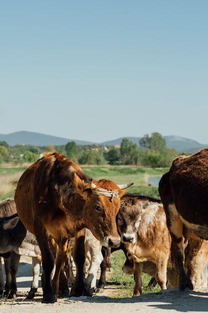 Крупным планом коров, идущих по грунтовой дороге Бесплатные Фотографии