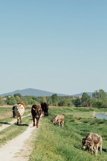 未舗装の道路の上を歩くロングショット牛 無料写真