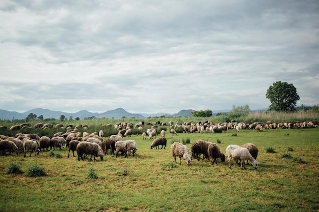 Длинный стадо овец ест траву на пастбище Бесплатные Фотографии