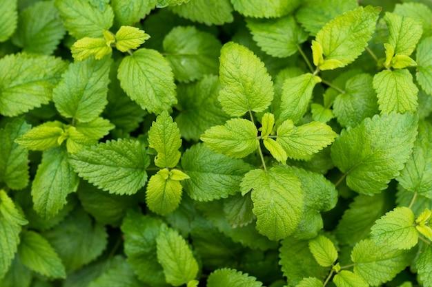 Полный кадр из свежих зеленых листьев мяты бальзам Бесплатные Фотографии