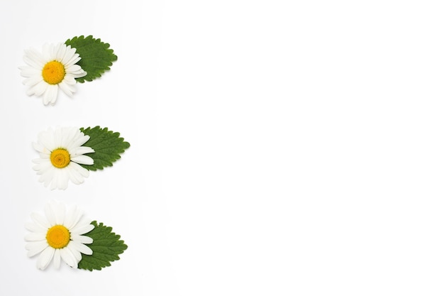 白い表面に行の葉を持つ白いカモミールの花 無料写真