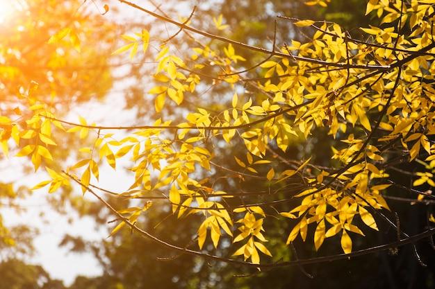 秋の日差しの中で黄金の枝 無料写真