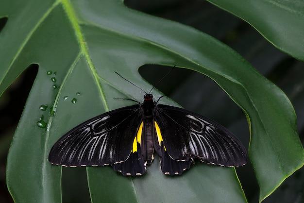 雄大な黒い蝶の葉 無料写真