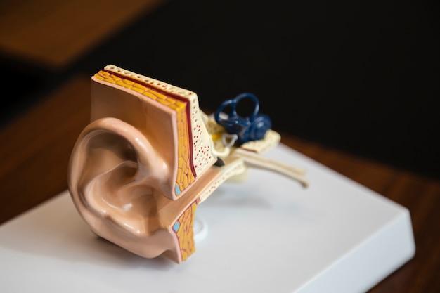 ハイアングル右耳構造 無料写真