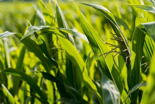 晴れた日にトウモロコシ畑を閉じる 無料写真
