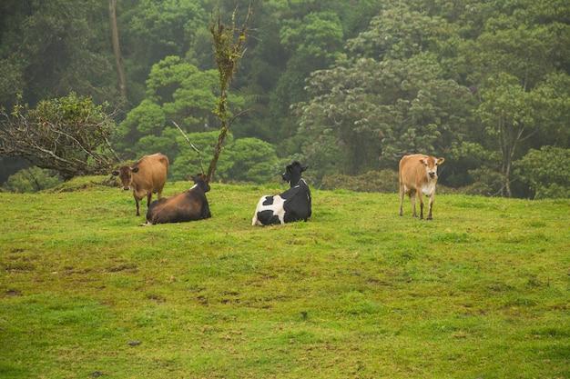 コスタリカの熱帯雨林の芝生のフィールドでリラックスしたカウズ 無料写真