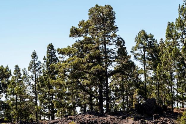 丘の上の針葉樹 無料写真