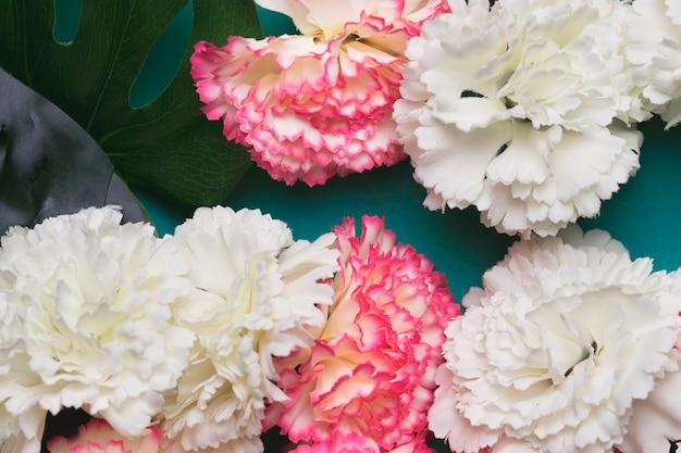 美しい白とピンクのカーネーションの花 無料写真