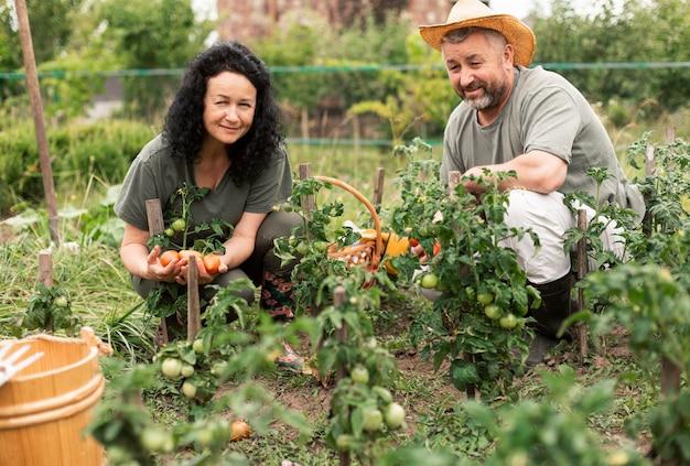 年配のカップルがトマトを収穫 無料写真