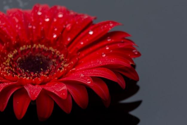 Крупный красный цветок герберы с каплями дождя Бесплатные Фотографии