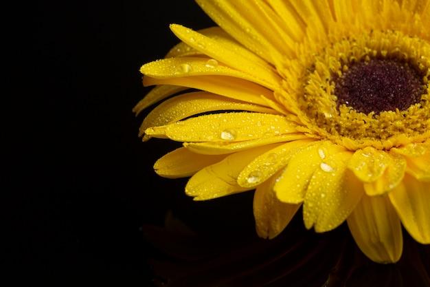 黄色のガーベラデイジーの花のクローズアップ 無料写真
