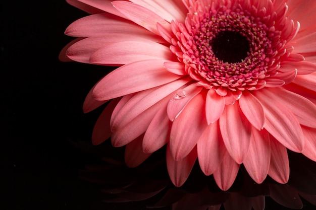 Крупный план розовых лепестков герберы Бесплатные Фотографии