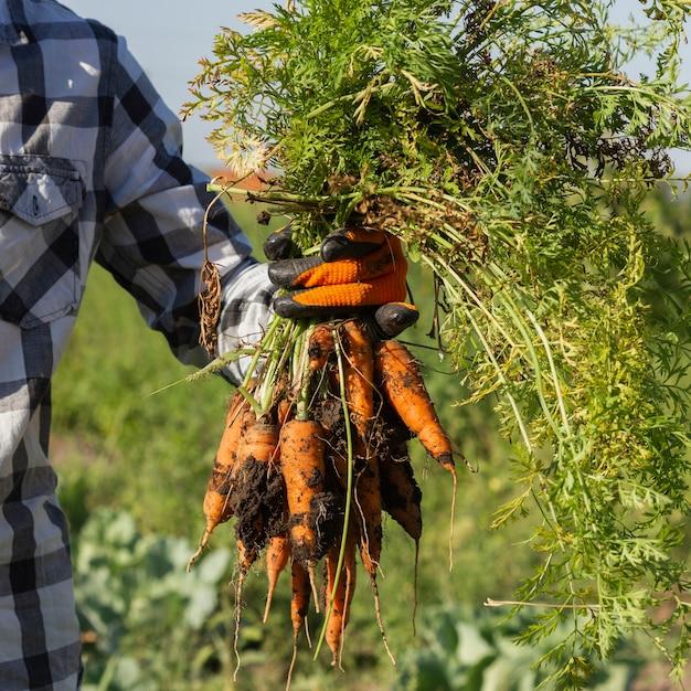 Свежая культура урожая моркови на ферме Бесплатные Фотографии