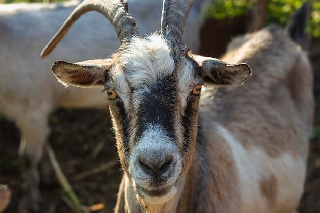 カメラ目線の農場でクローズアップヤギ 無料写真