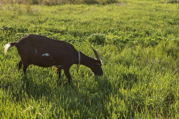 草を食べる黒ヤギ 無料写真