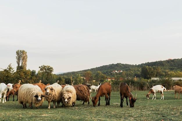 緑の草地で一緒に放牧羊と馬 無料写真