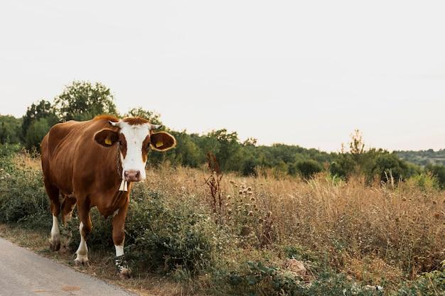田舎道を行く茶色の牛 無料写真