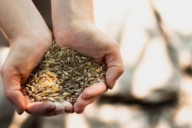 Человек держит в руках кучу семян пшеницы Бесплатные Фотографии