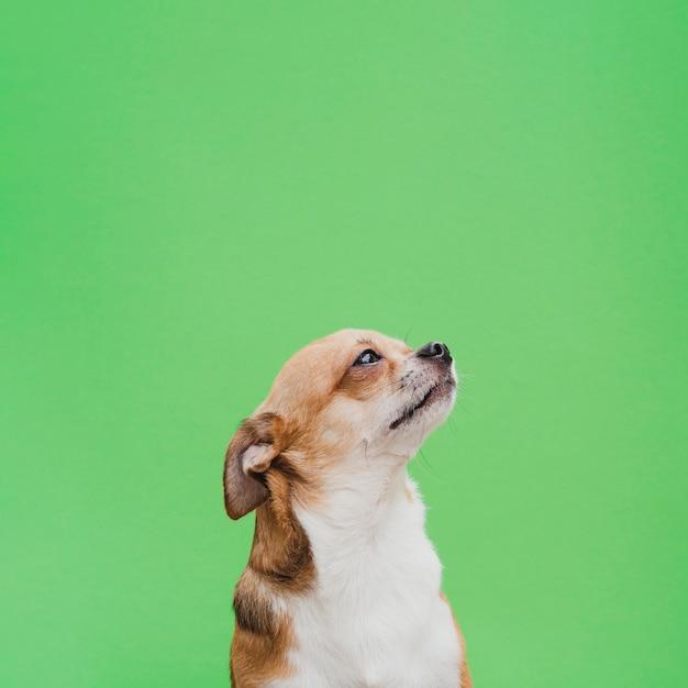 Чихуахуа смотрит вверх с сдержанными ушами Бесплатные Фотографии