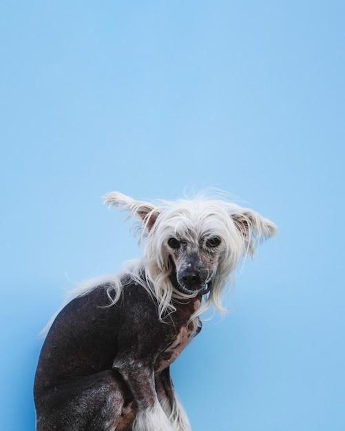 Сидя китайская хохлатая собака с белыми длинными волосами и копией пространства Бесплатные Фотографии